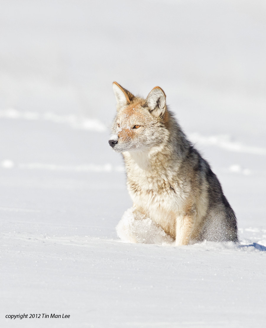 Photograph Coyote In Snow by Tin Man on 500px