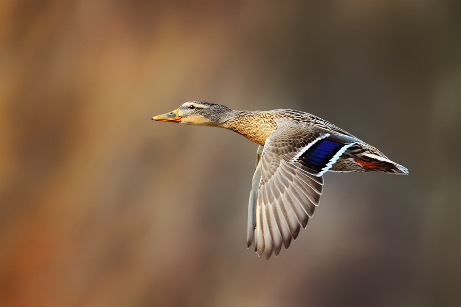 Photograph Duck by Milan Krasula on 500px
