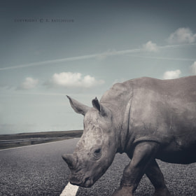 WHY DID THE RHINO CROSS THE ROAD by Karl Batchelor (Karl_Batchelor)) on 500px.com