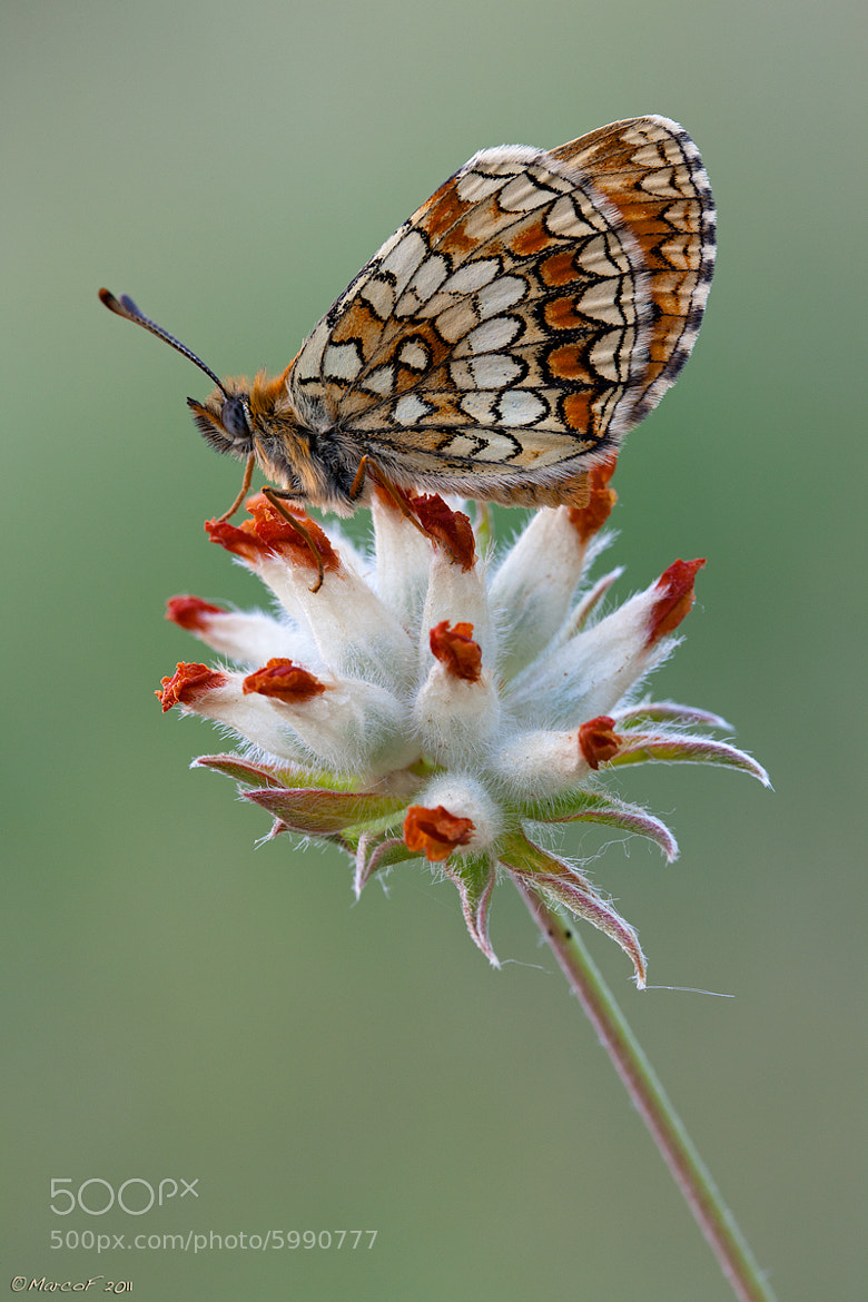 Photograph Mellicta athalia by Marco Franzini on 500px
