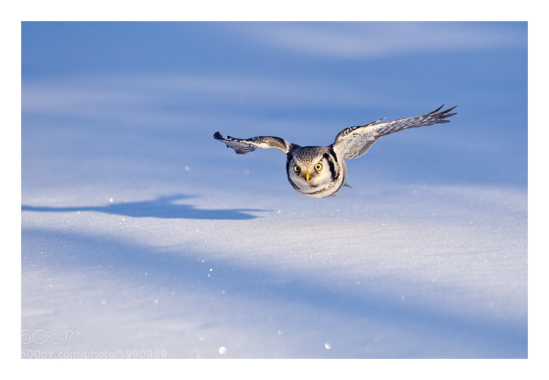 Photograph Snow hunter by Jules Cox on 500px