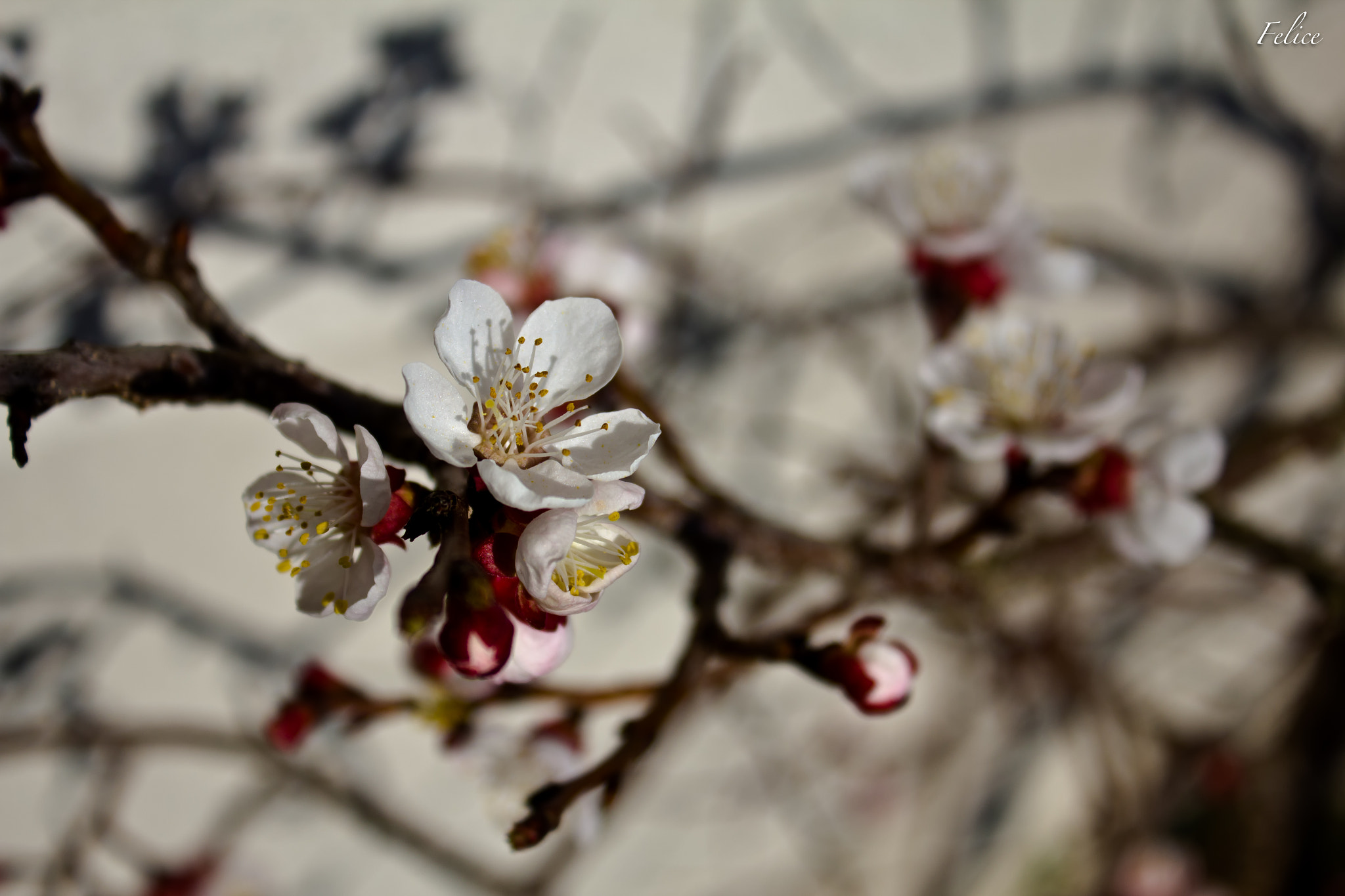 Photograph Apricot Blossom by Felice V. on 500px