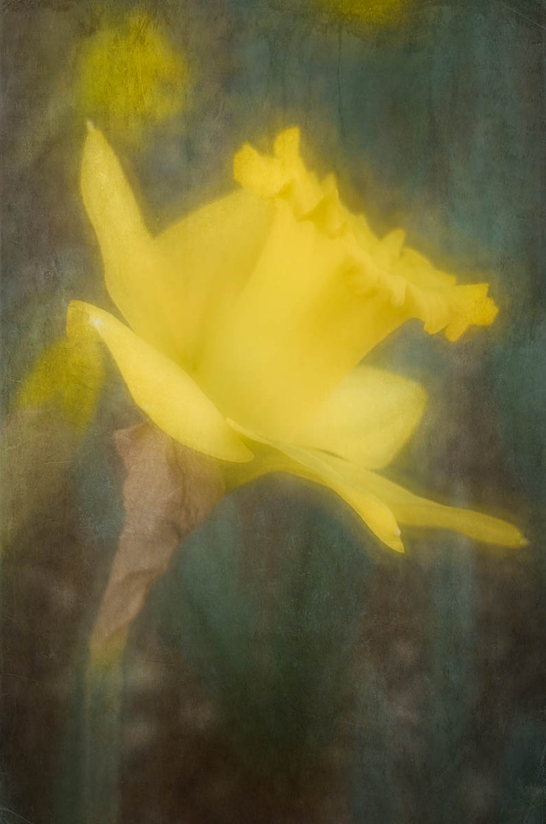 Photograph Daffodil by Chris Drew on 500px