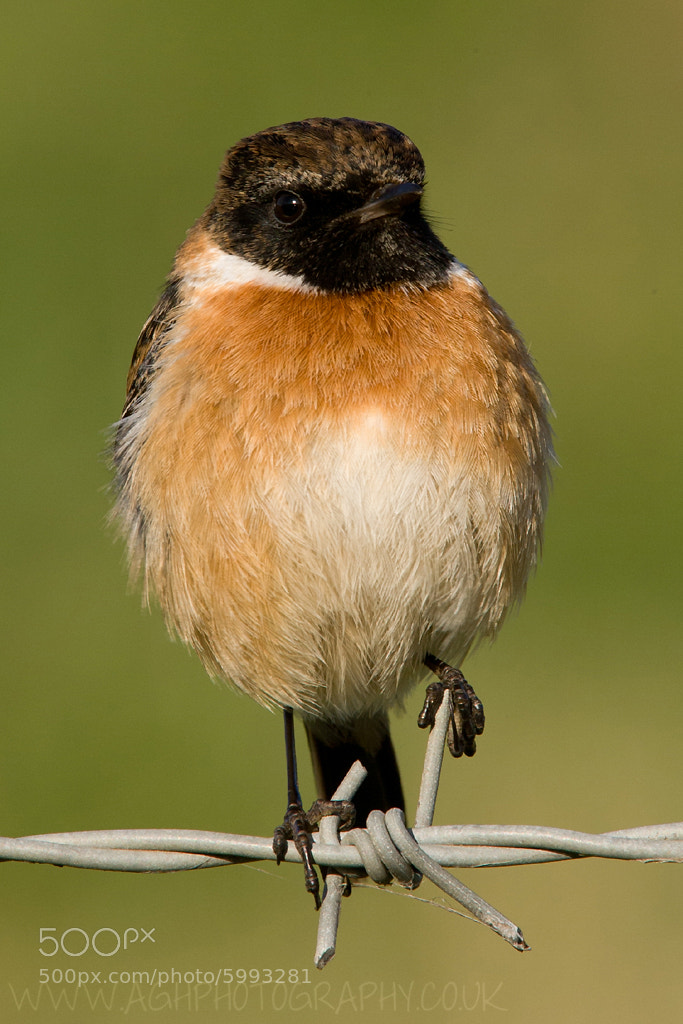 Photograph Stonechat by Tony House on 500px
