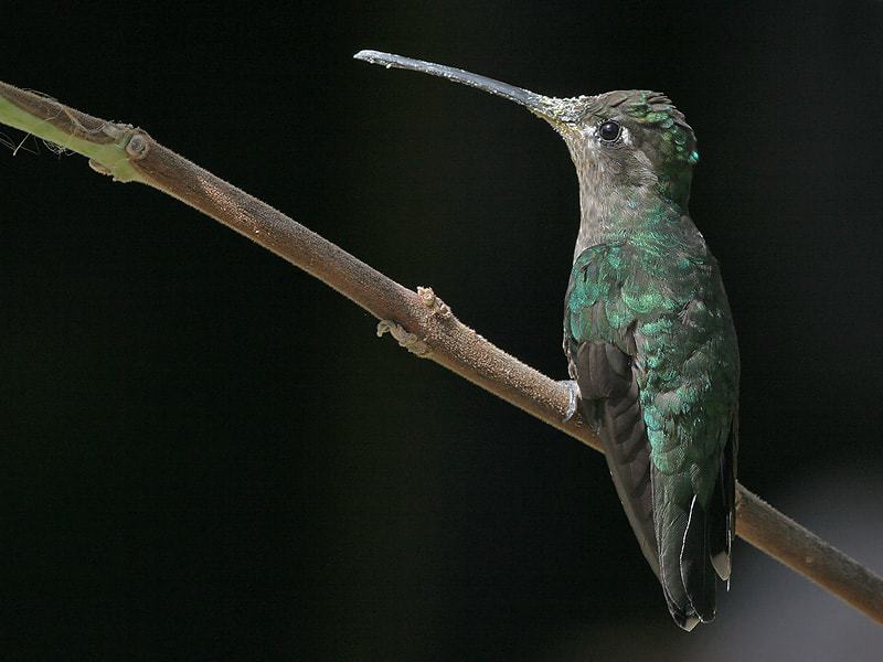 Photograph Magnificent Hummingbird  by Aat Bender on 500px