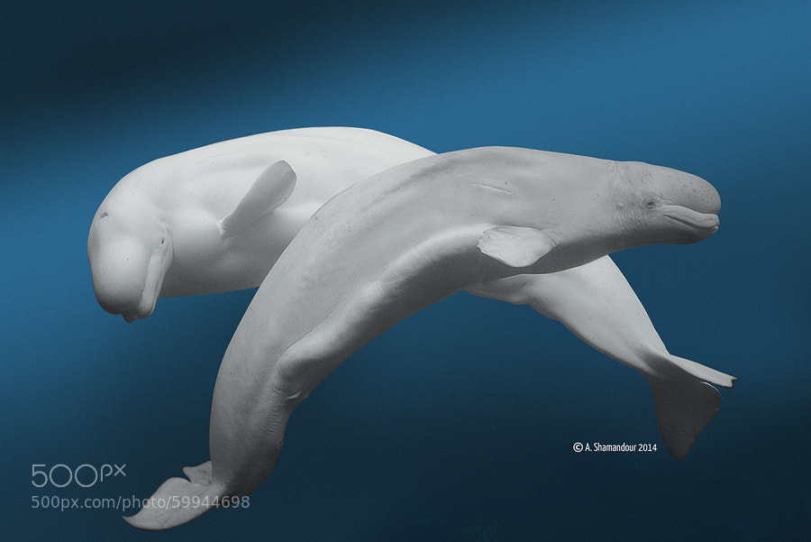 Photograph Beluga Whale by A. Shamandour on 500px