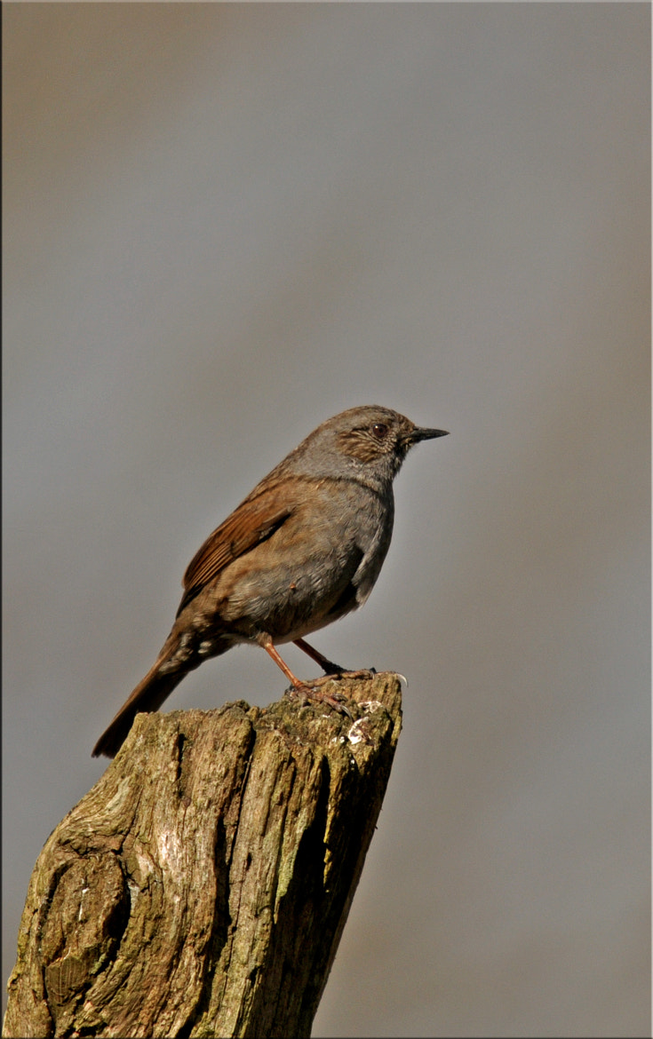 Photograph Dunnock by Graham Turner on 500px