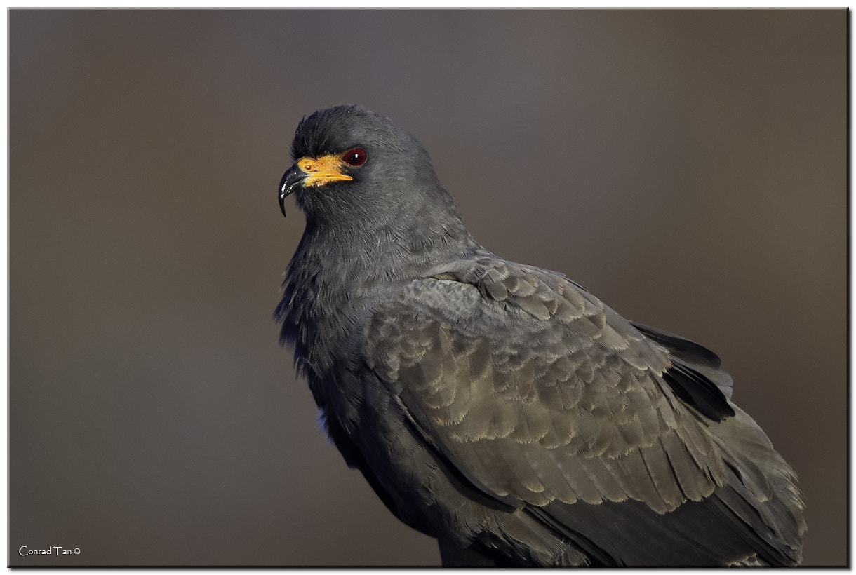 Photograph Male Snail Kite by Conrad Tan on 500px