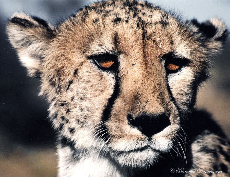 Photograph Cheetah by Baroness on 500px