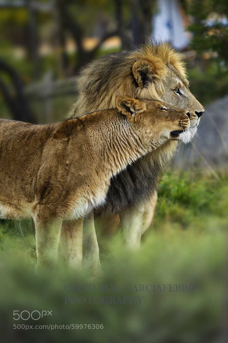 Photograph Lions by Cristobal Garciaferro Rubio on 500px
