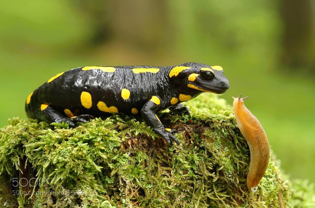 Photograph Salamander and snail by Miroslav Hlavko on 500px