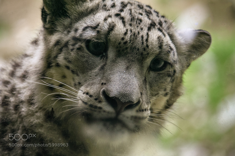 Photograph Snow Leopard by Marco Hofmann on 500px