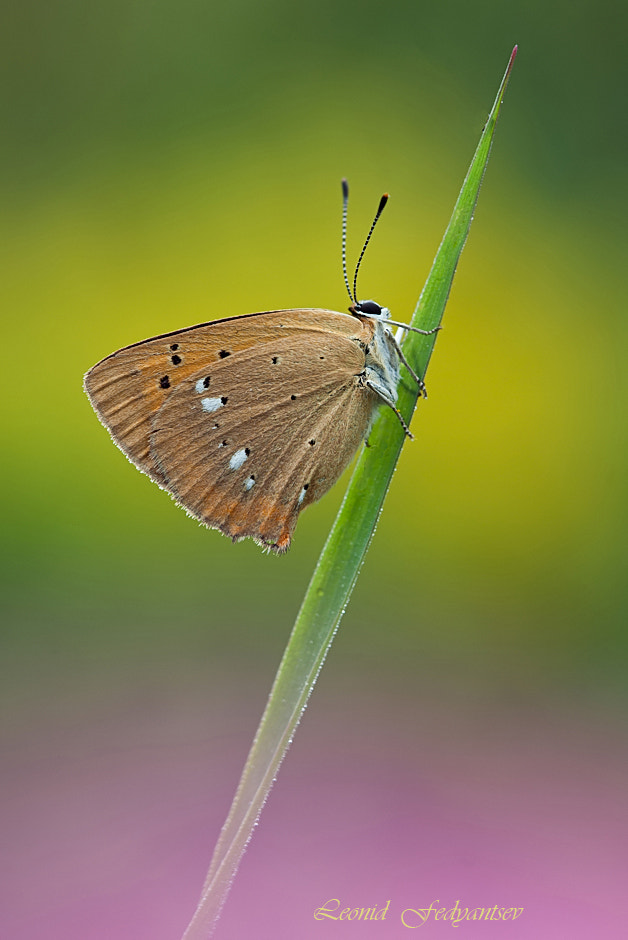 Photograph The Scarce Copper by Leonid Fedyantsev on 500px
