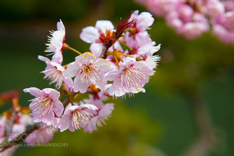 Photograph Cherry blossom in Dogo Park by ORAZ Studio on 500px