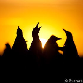 Penguin Silhouettes by Will Burrard-Lucas on 500px.com