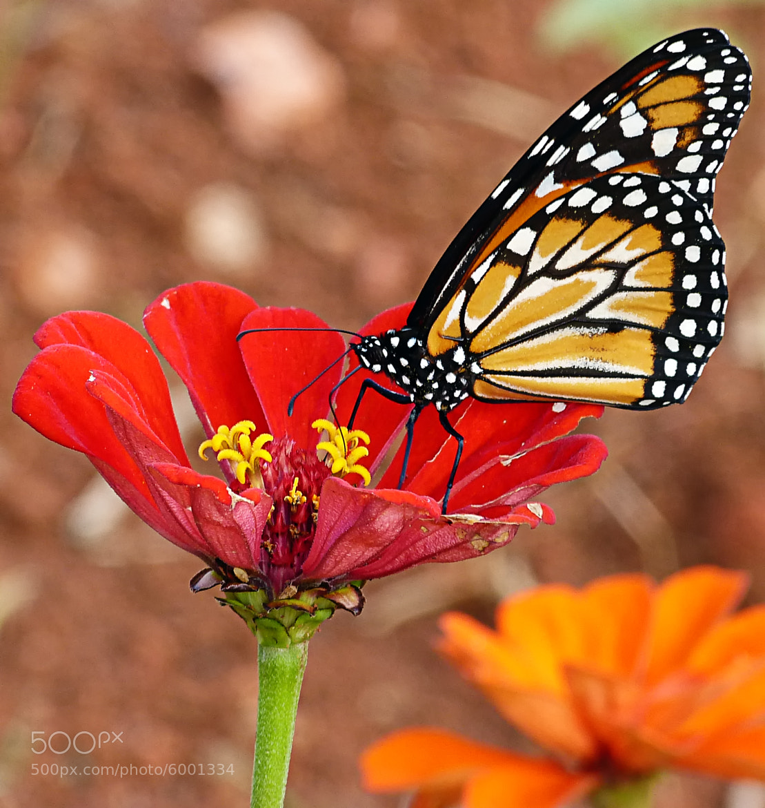 Photograph Monarch looks good in red by Pedro Henrique Evangelista on 500px