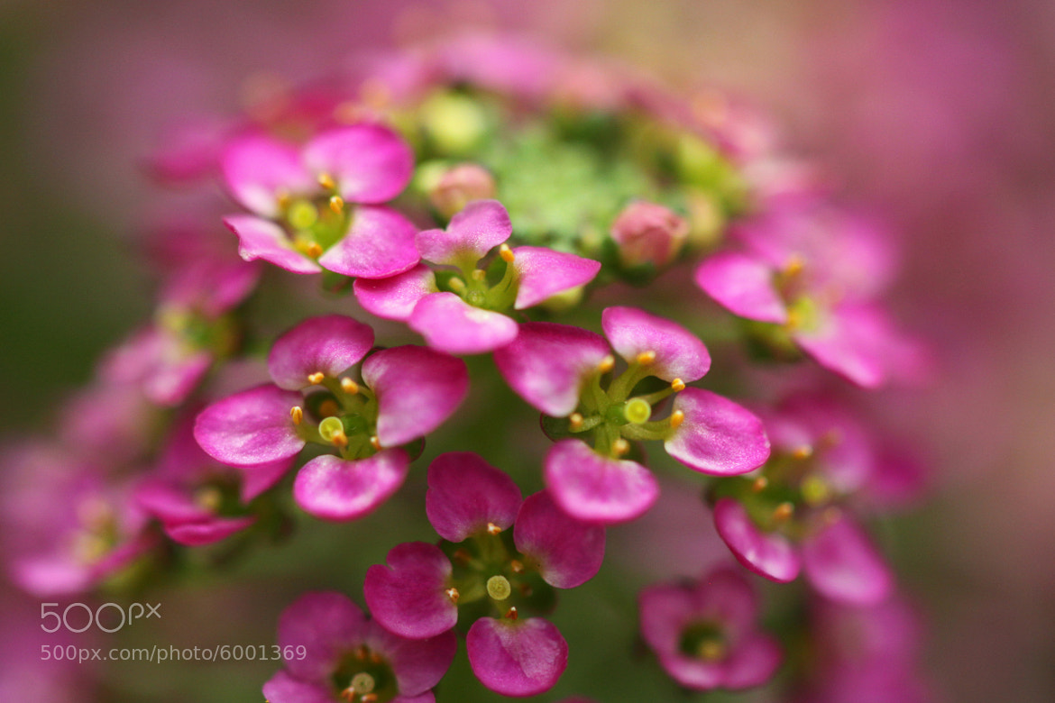 Photograph Pink Cluster by Kenneth  Maurer on 500px