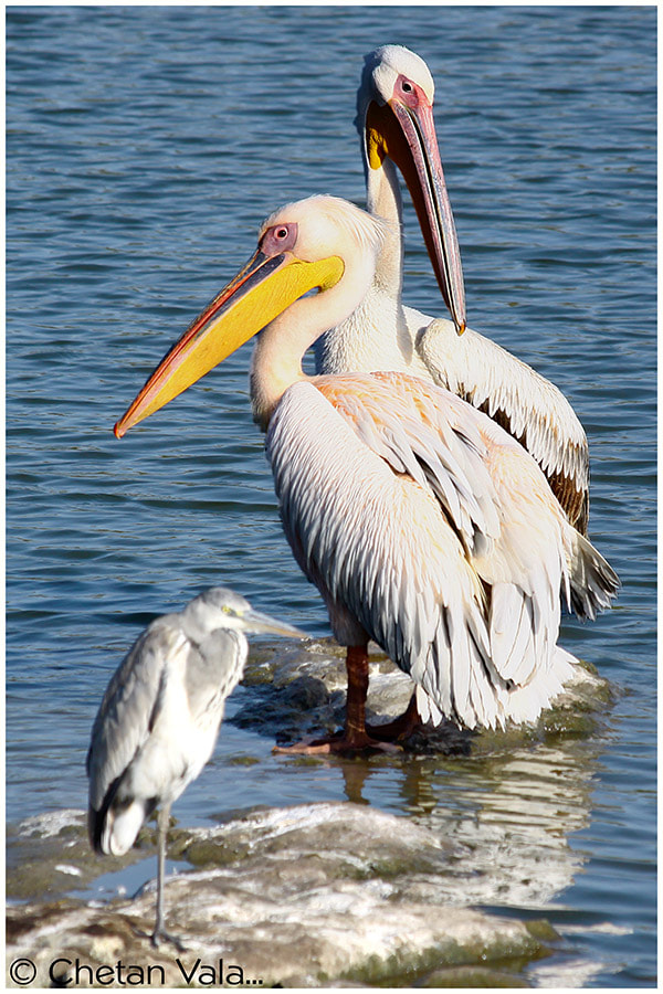 Photograph Pelicans -5 by chetan vala on 500px
