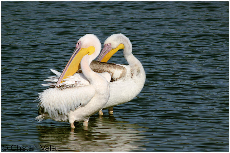 Photograph Pelicans -10 by chetan vala on 500px
