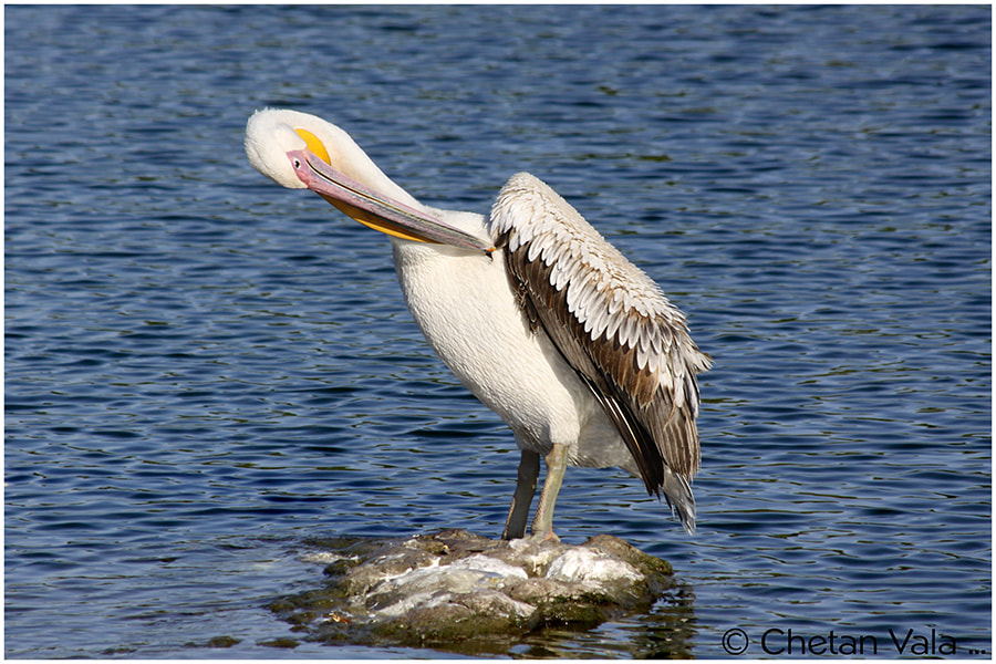 Photograph Pelicans 9 by chetan vala on 500px