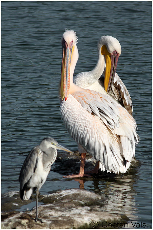 Photograph Pelicans -2 by chetan vala on 500px