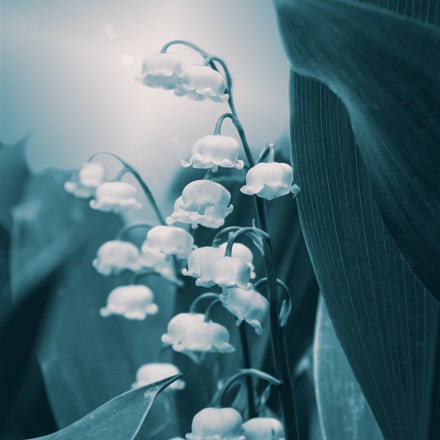Lily of a Valley Long Forgotten