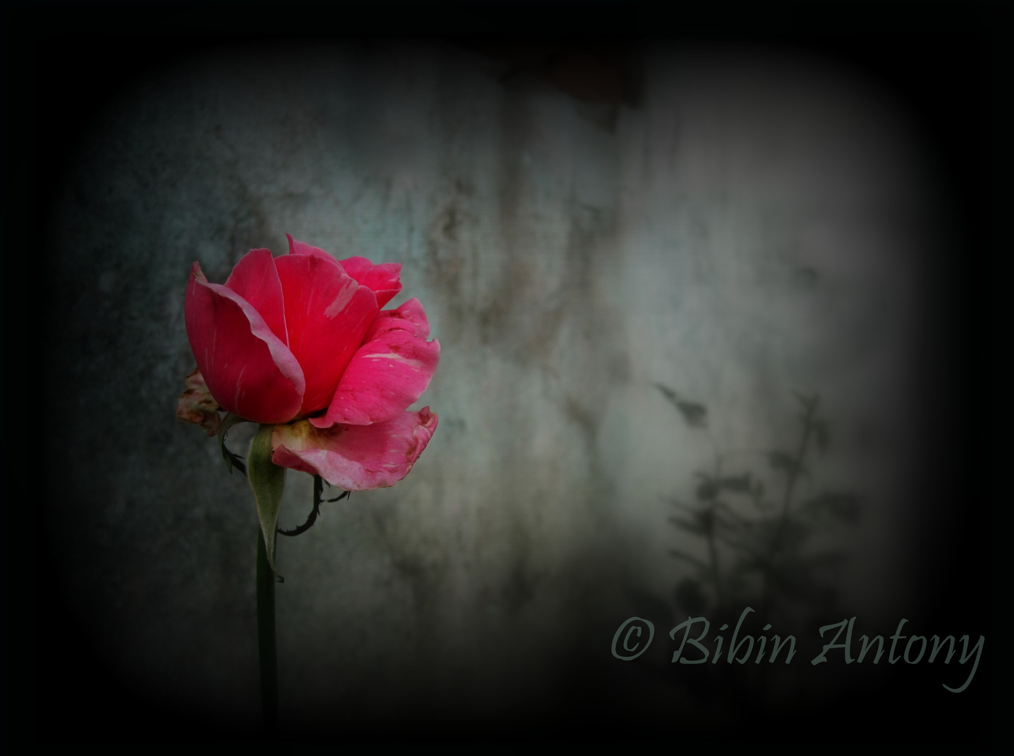 Photograph Oh Rose!!! by Bibin Antony on 500px