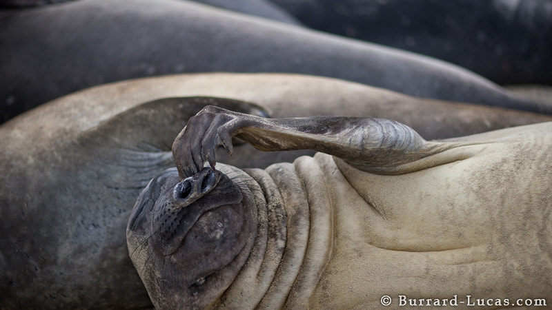 Photograph Seal Scratch by Will Burrard-Lucas on 500px