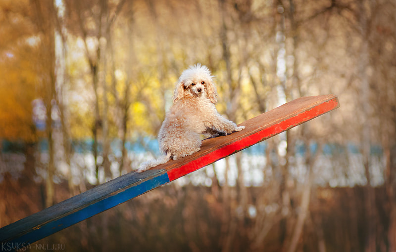 Photograph Small poodle by Ksenia Raykova on 500px