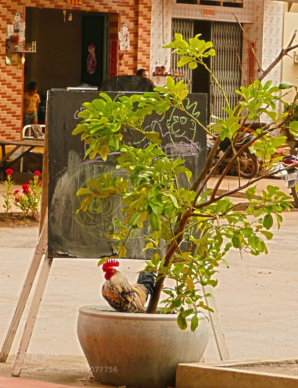 Photograph Coq a Kampot by LeGrandVillage on 500px
