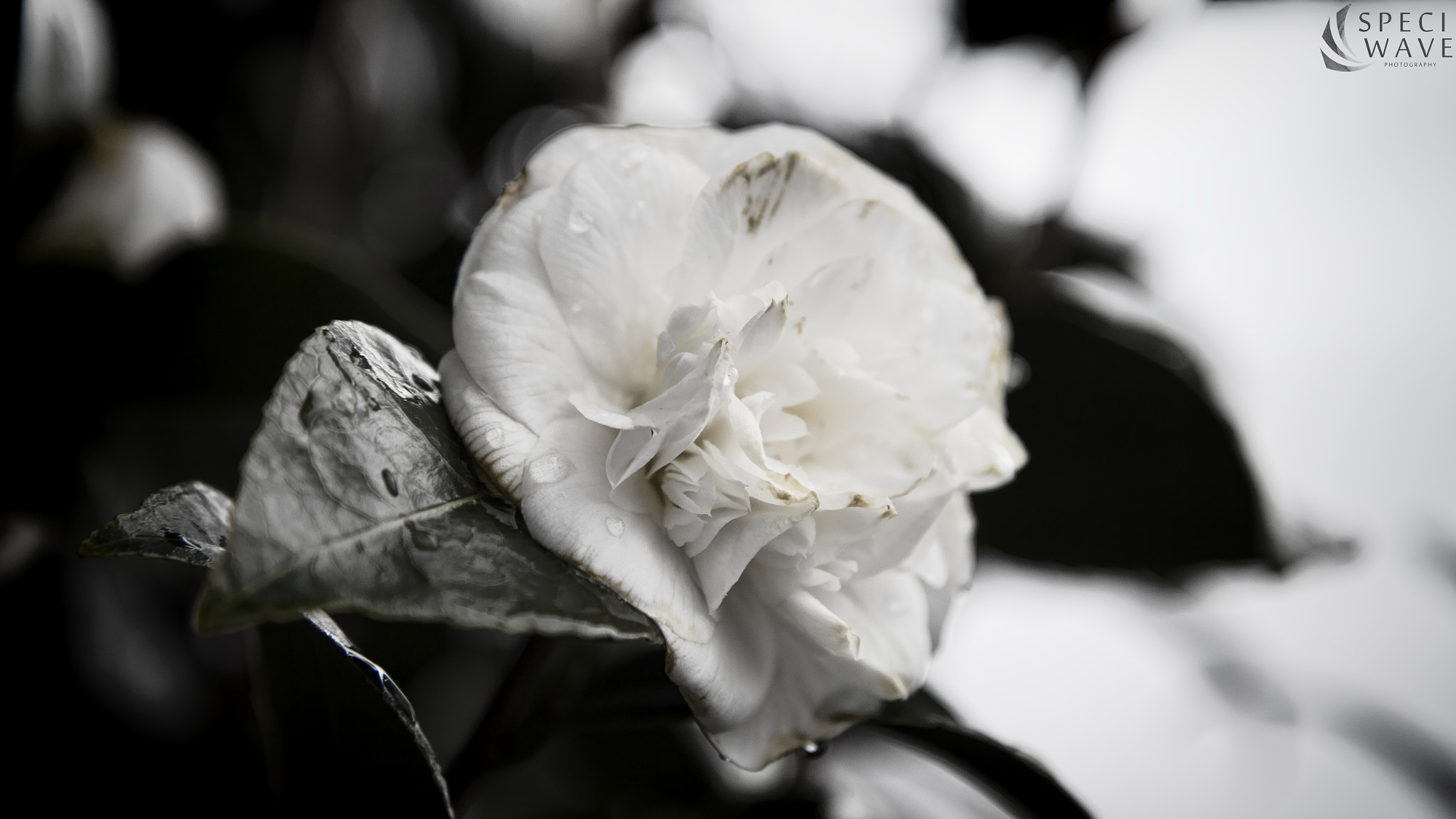 Photograph Camelia by Melvin Liss on 500px