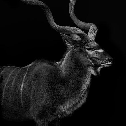 Greater Kudu Portrait