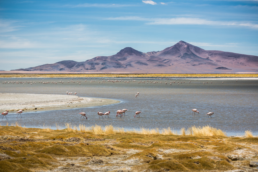 Photograph Flamingos at Salar de Tara by Alfred Myers on 500px