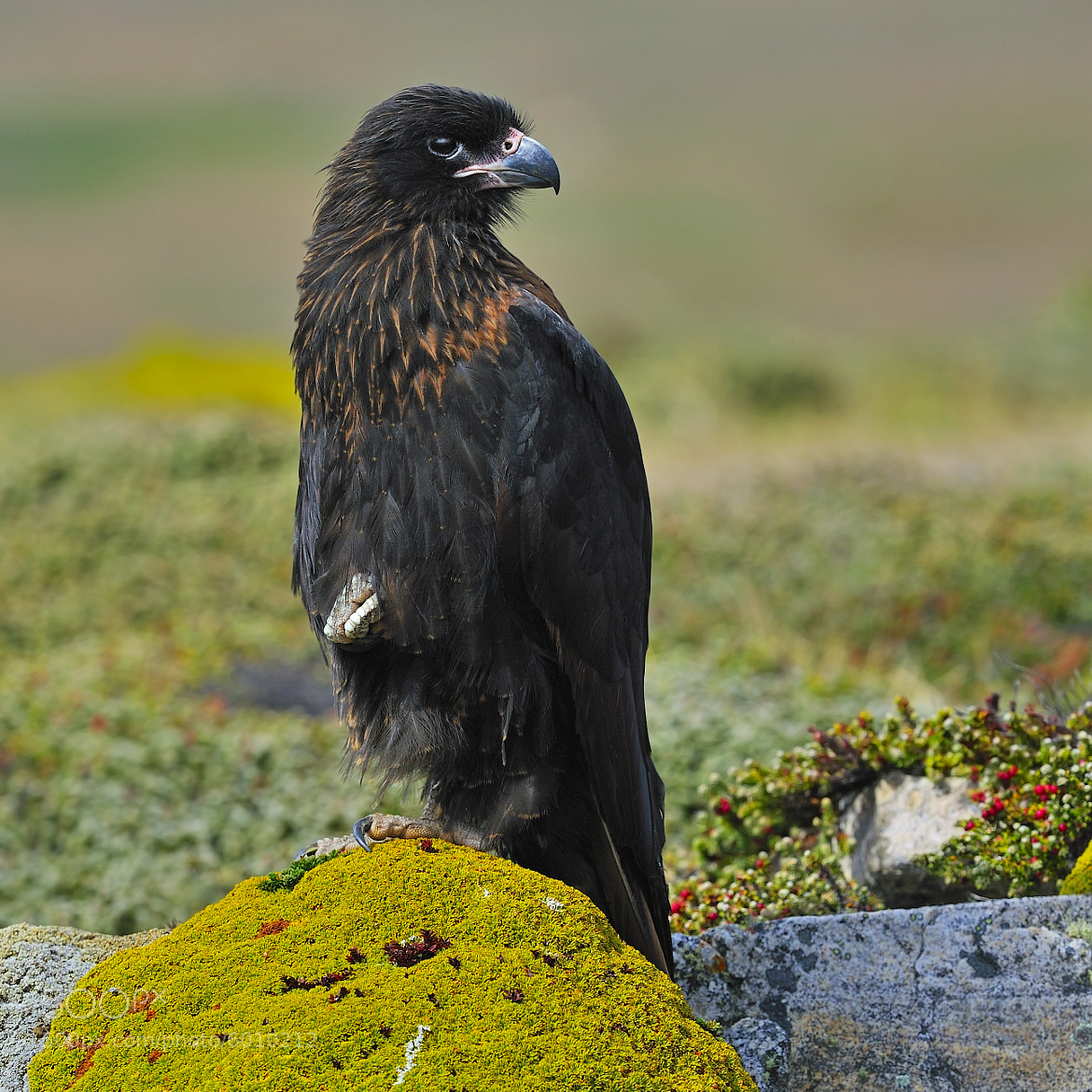 Photograph Young Striated Caracara by Tony Beck on 500px