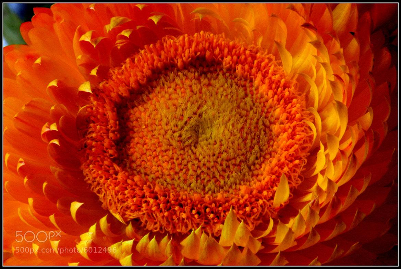 Photograph Orange Flower by Martin Rosen on 500px