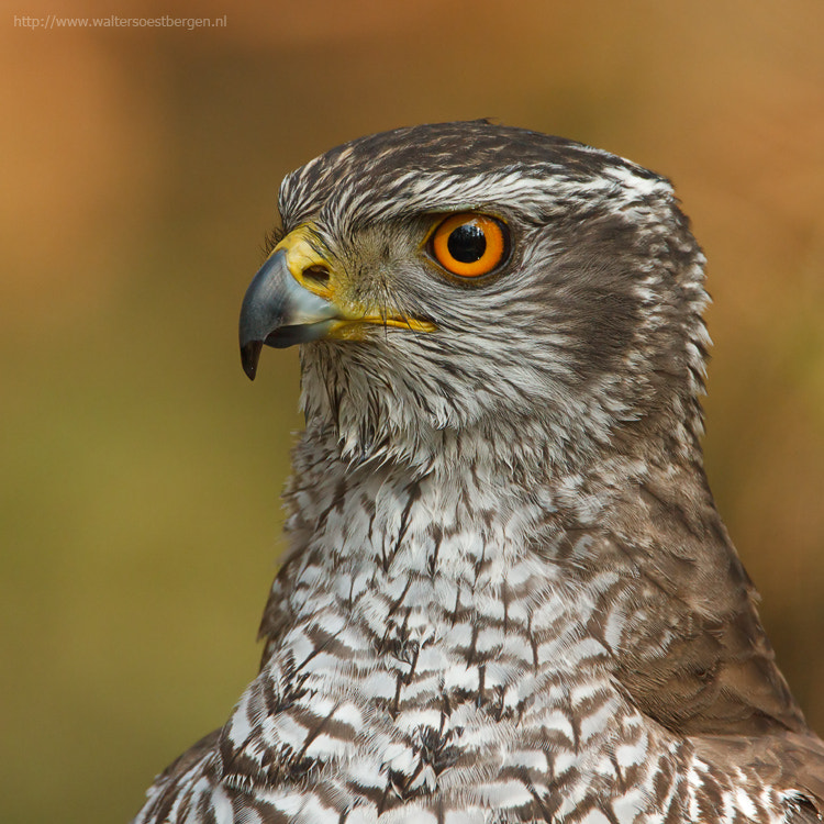 Photograph Goshawk by Walter Soestbergen on 500px