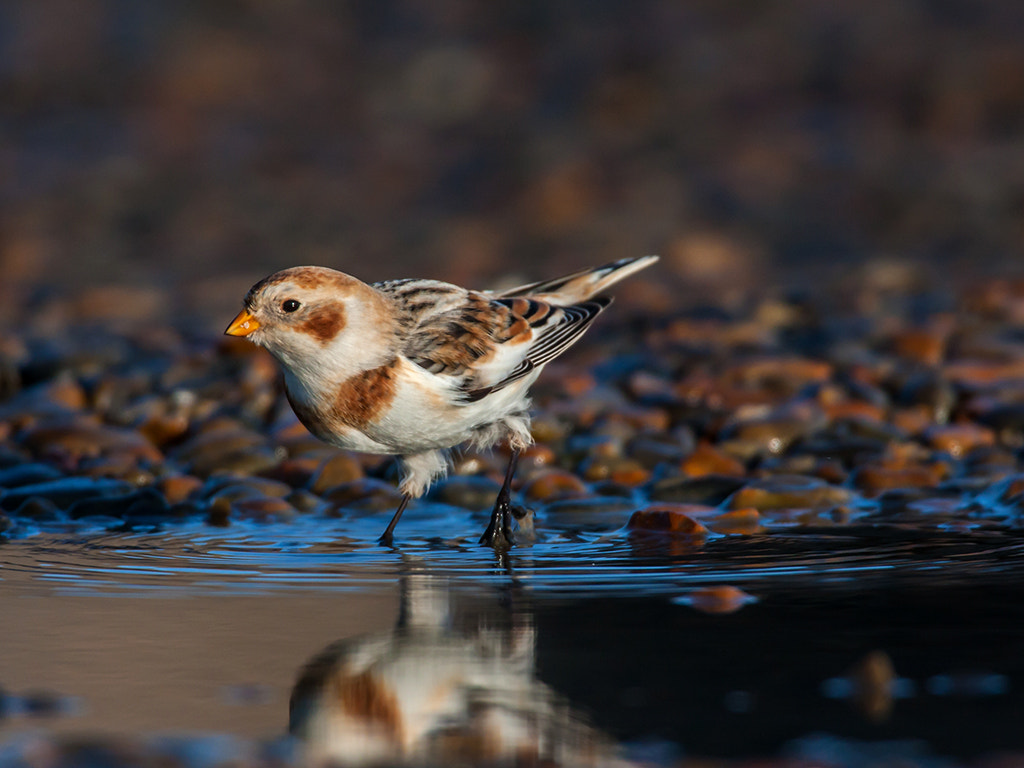 Photograph snow bunting by dave blackwell on 500px
