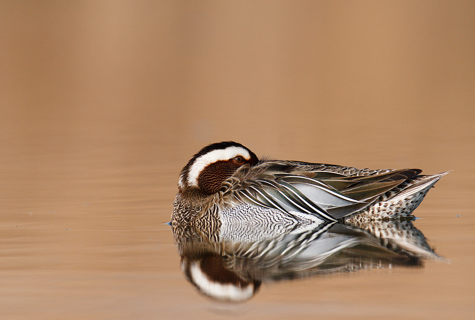 Photograph The Garganey (Anas querquedula) by Veselin Gramatikov on 500px