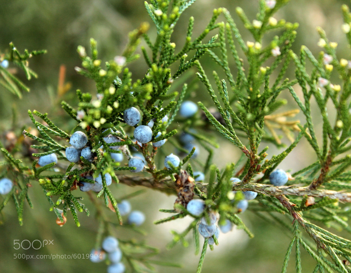 Photograph Cedar Berries by Patricia Martin on 500px