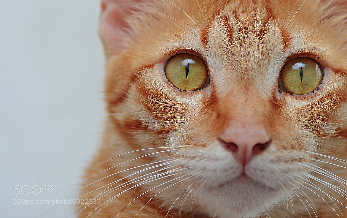 Photograph cat by Simon Shim on 500px