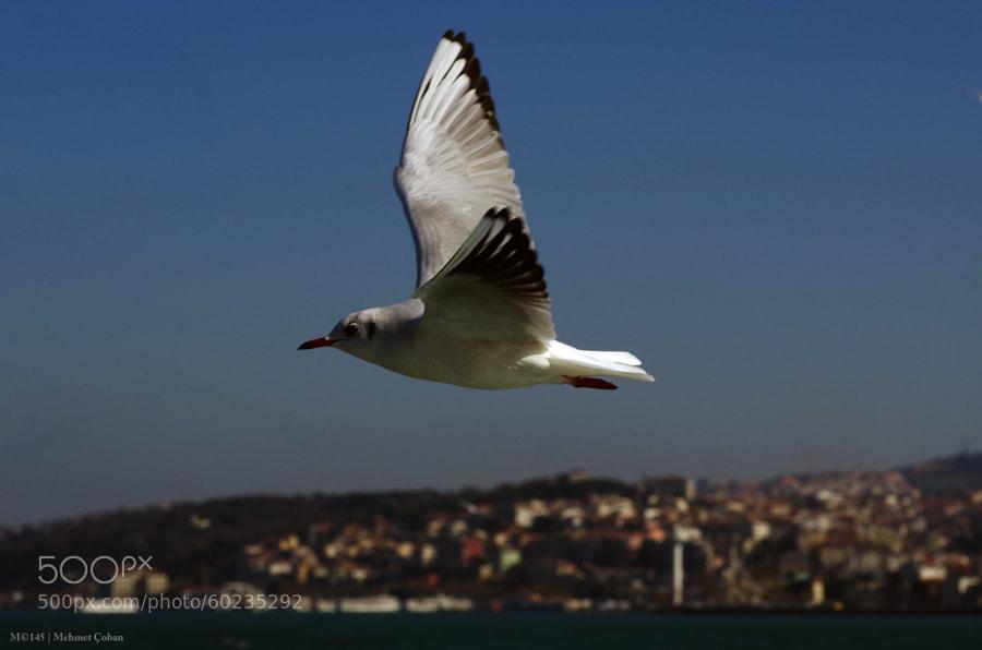 "Seagulls in Istanbul on by Mehmet Çoban on 500px.com"" border=""0"" style=""margin: 0 0 5px 0;"