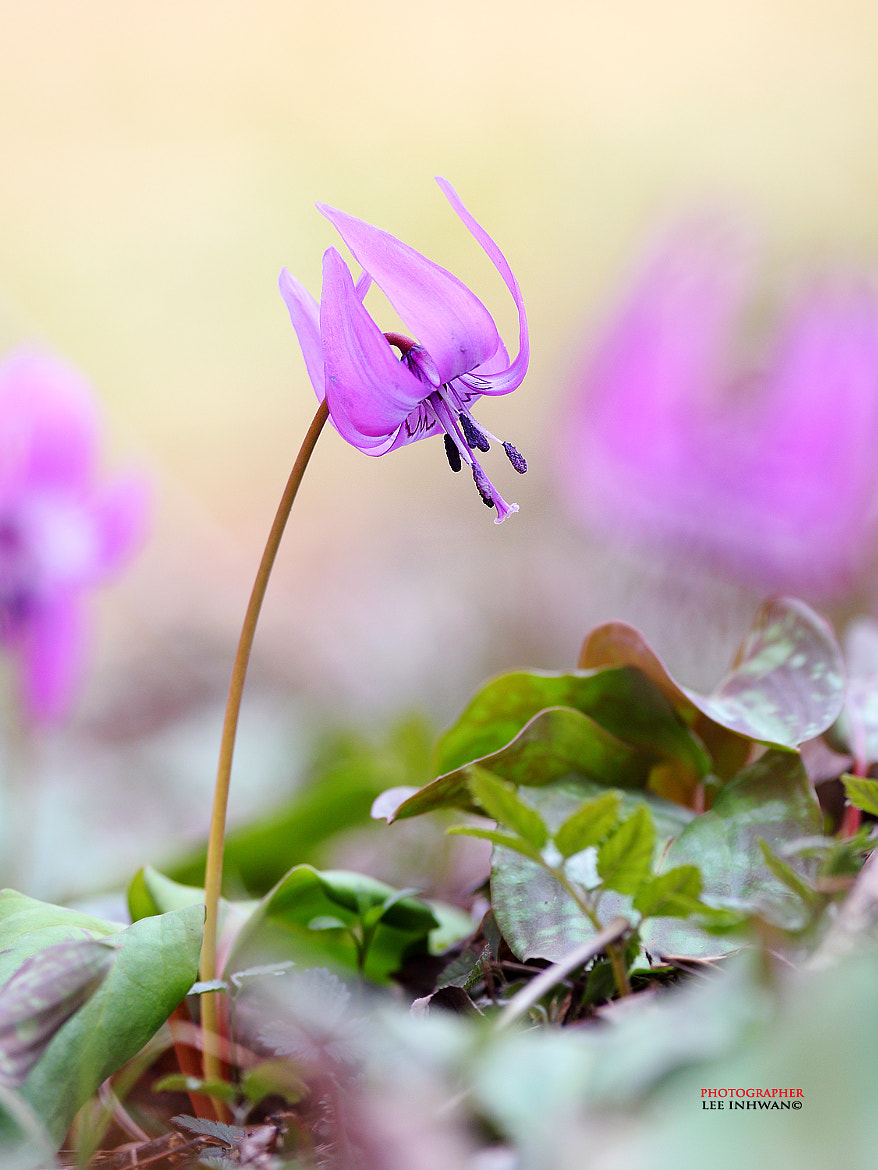 Photograph Dogtooth violet by LEE INHWAN on 500px