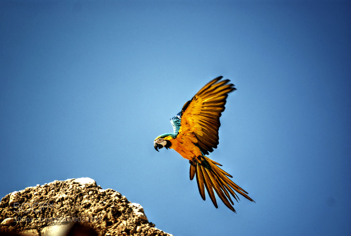 Photograph Flying Macaw by Javier Medina on 500px