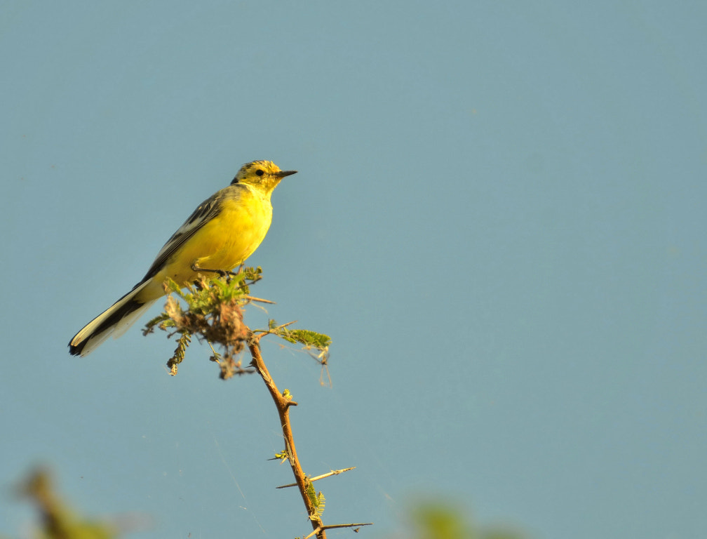 Photograph Citrine Wagtail by anuj raina on 500px