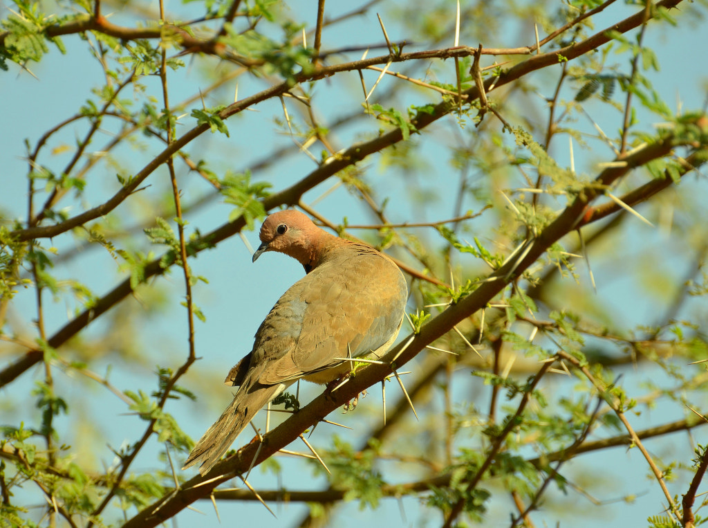 Photograph Laughing Dove by anuj raina on 500px