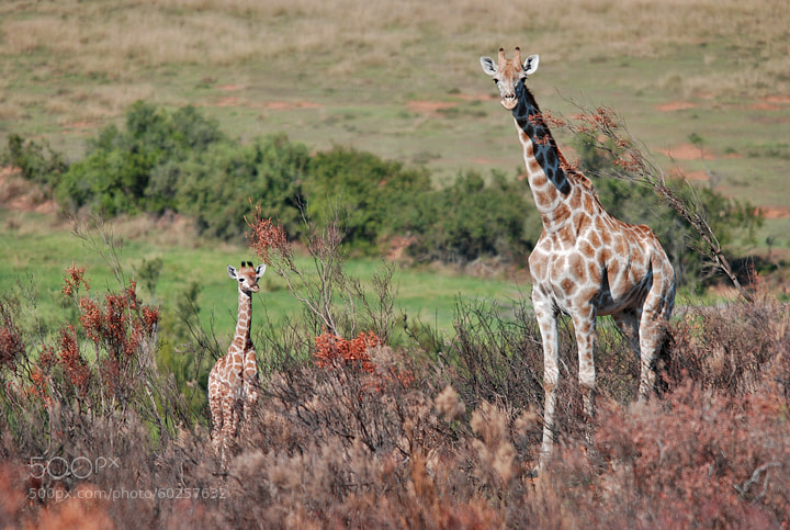 Photograph Giraffe and baby by Martin Dunn on 500px
