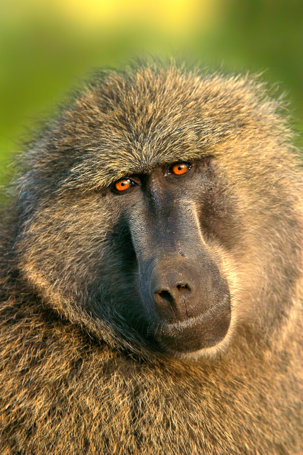 Photograph Olive Baboon by Mario Moreno on 500px