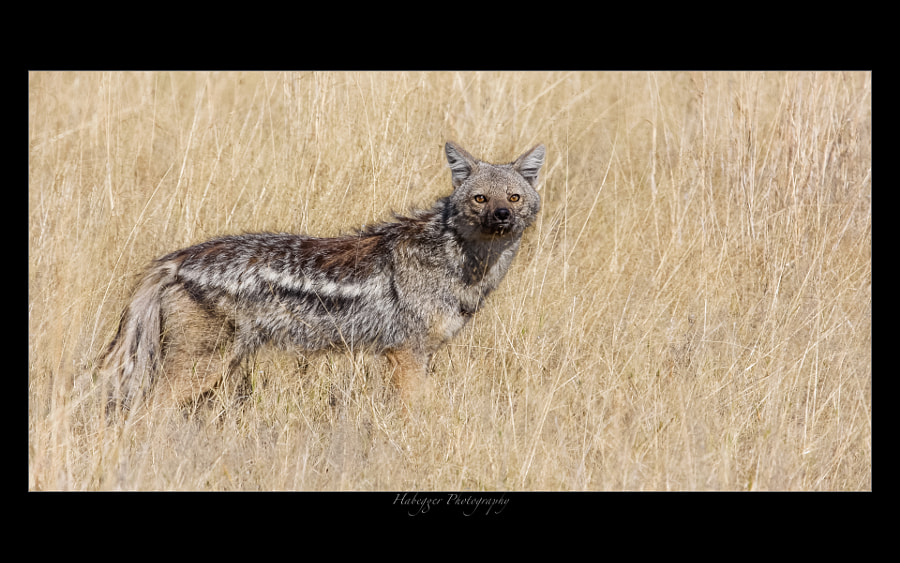 Side-Striped Jackal, Wolwedans, Namib Rand Nature Reserve