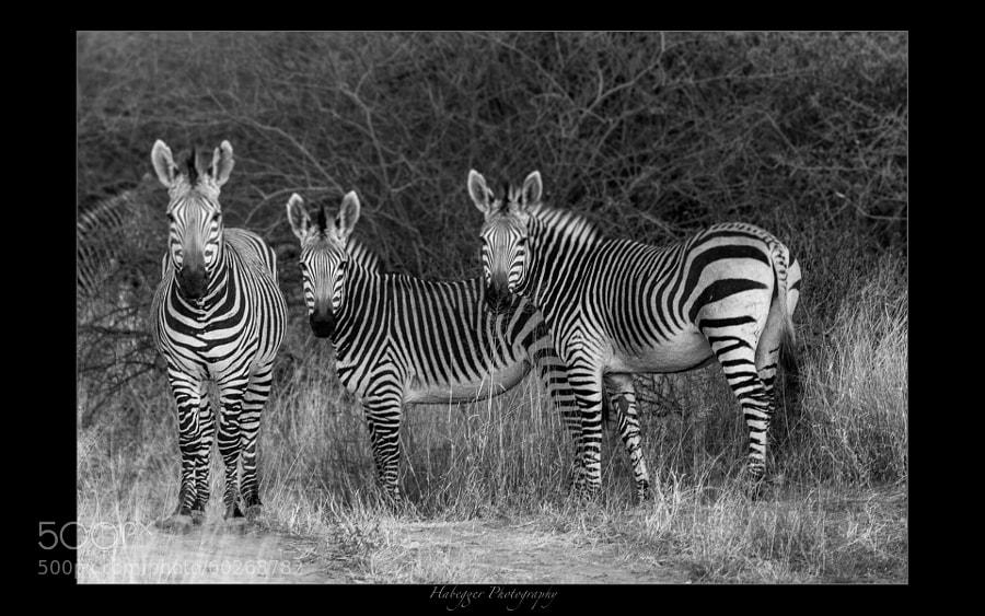 Hartmann's Mountain Zebra, Okonjima