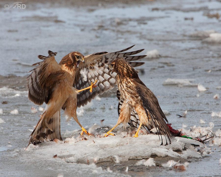 Photograph Fighting Northern Harriers by Ron Dudley on 500px